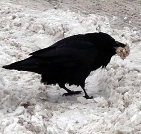 crow.2012 (600 x 569)