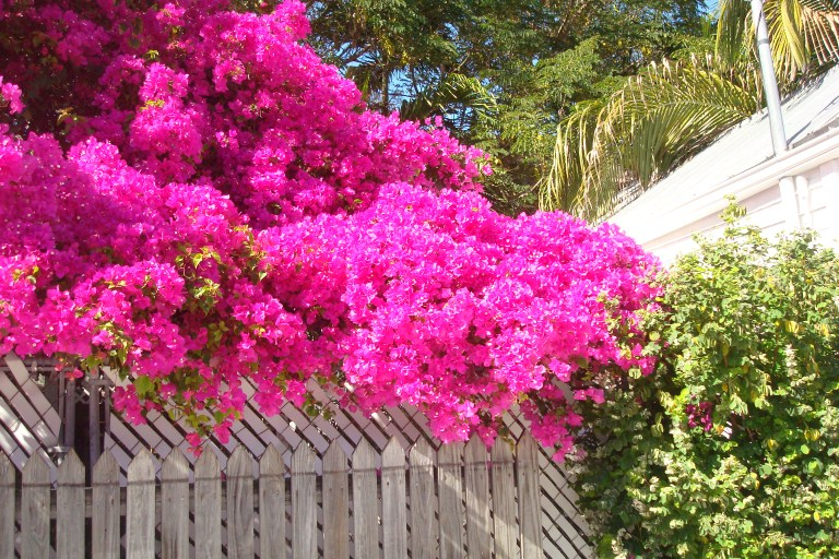 fuschia flowers...key west.2012 (768 x 512)