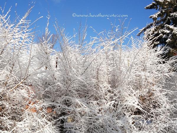 snowy bush.2.2013