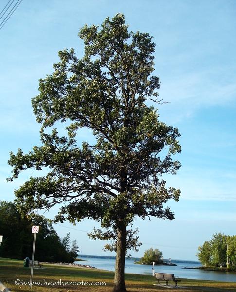 tree champlain park.2010