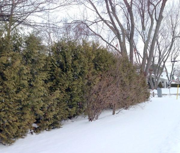 tree fence...2013 (600 x 511)