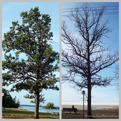 two trees.champlain part,.2013