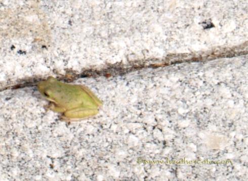 tiny greenfrog.2013leesburge