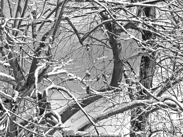 snow.branches, 2013.grayscale