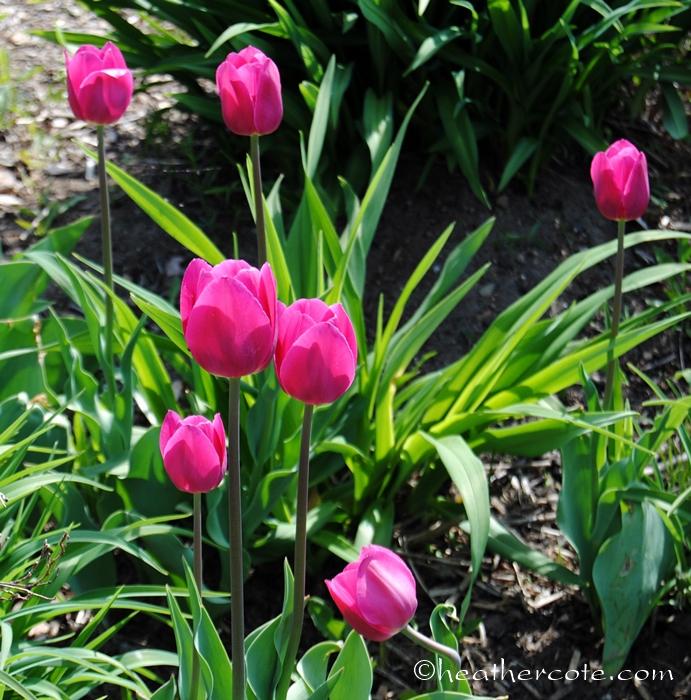 tulips.wf.3.2013
