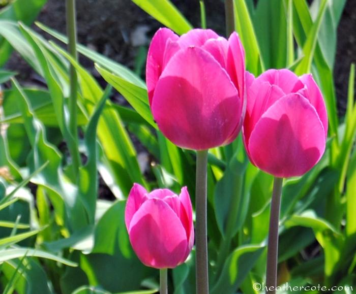 tulips.wf.4.2013