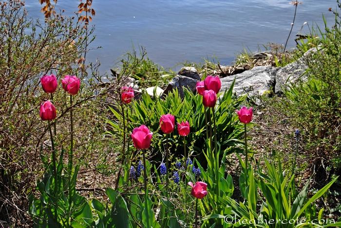 tulips.wf.6.2013