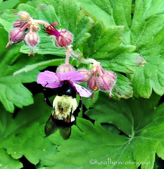 bumble.bee.2013