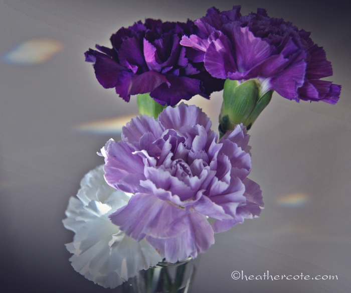 carnations.2013