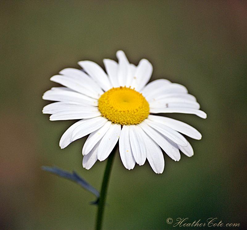...daisy.2013