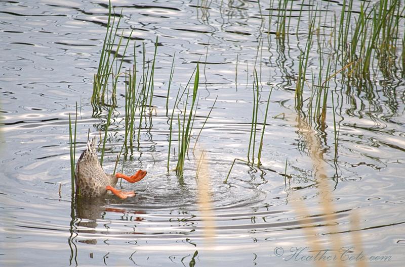 duck.2013