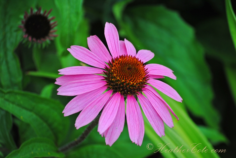 daisy.pink...2013