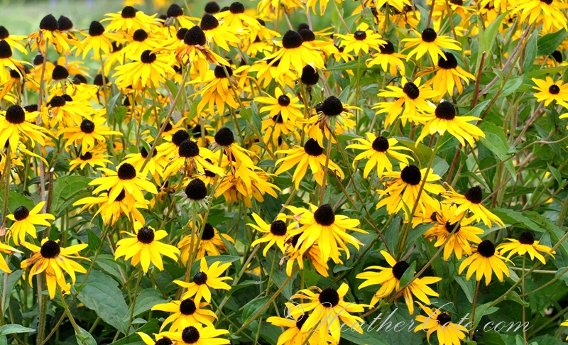 black.eyed.susans.2013