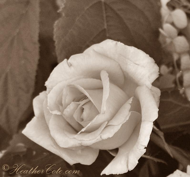 haili.roses.2013.sepia