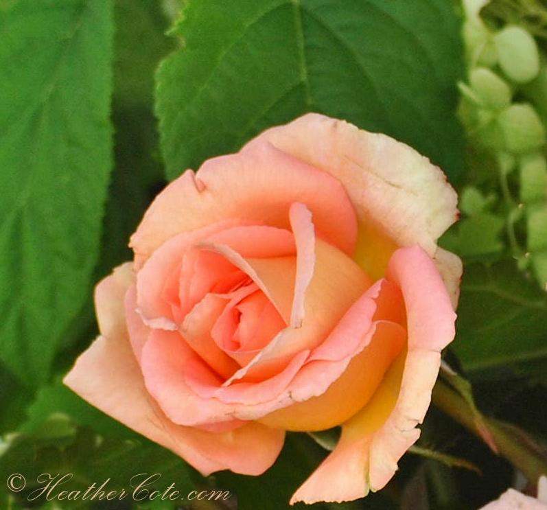 haili.roses.2013