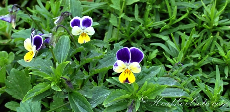 pansy.2013
