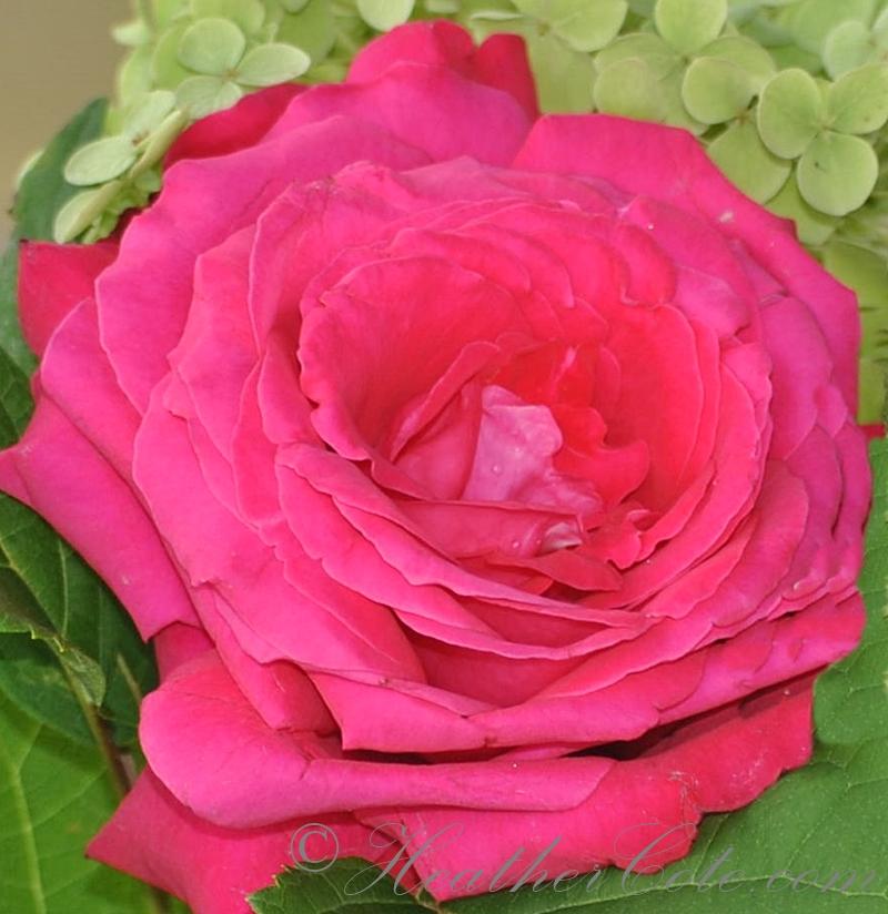 pink.rose.2013
