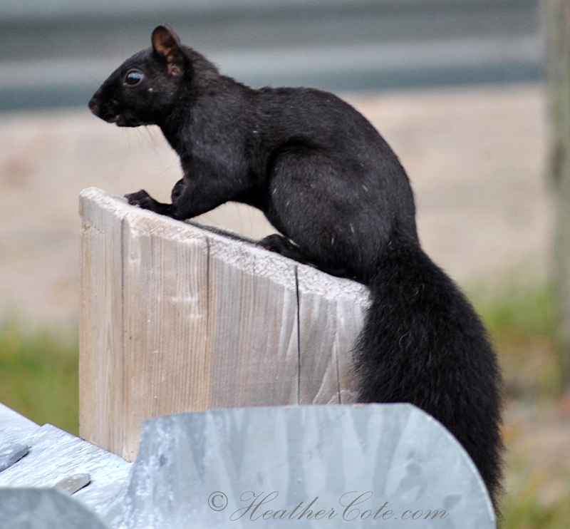 black.squirrel.2013
