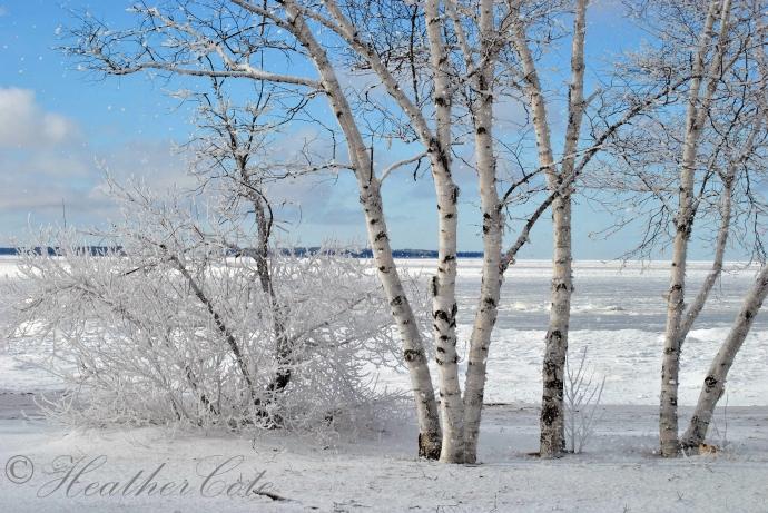birch.frosty.2013