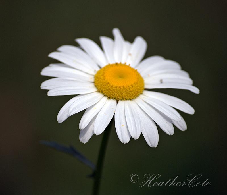 daisy.2.2014
