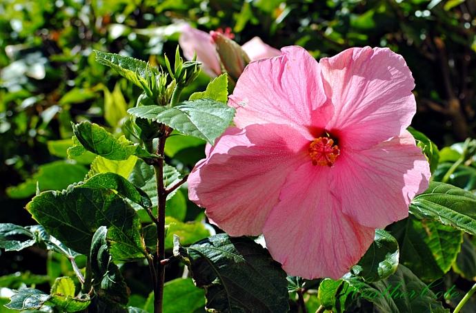 hibiscus.marco.2014..