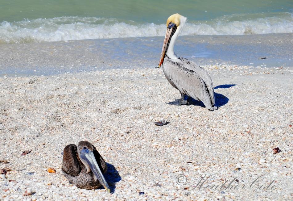 pelicans.waiting.2.marco.2014