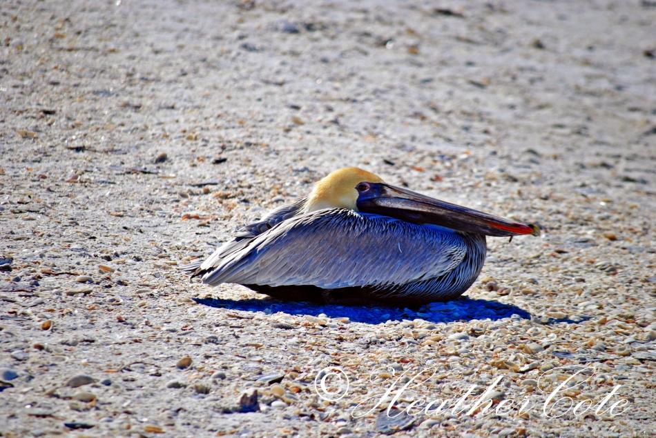 pelicans.waiting.3.marco.2014