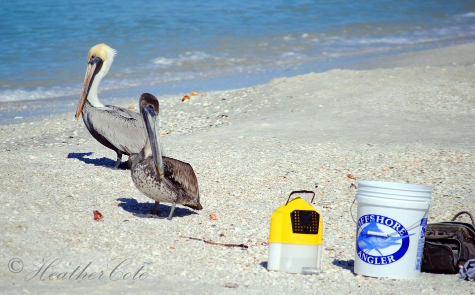pelicans.waiting.marco.2014