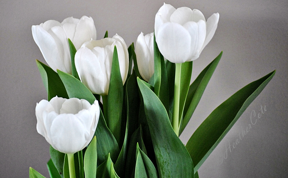 tulips.2014...