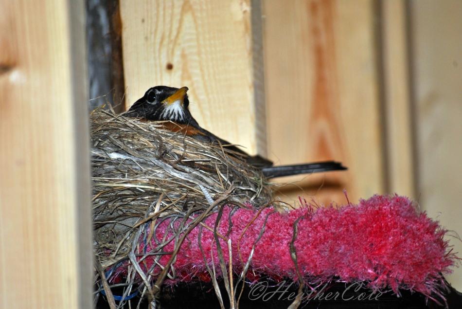 robin.nest.2.2014...