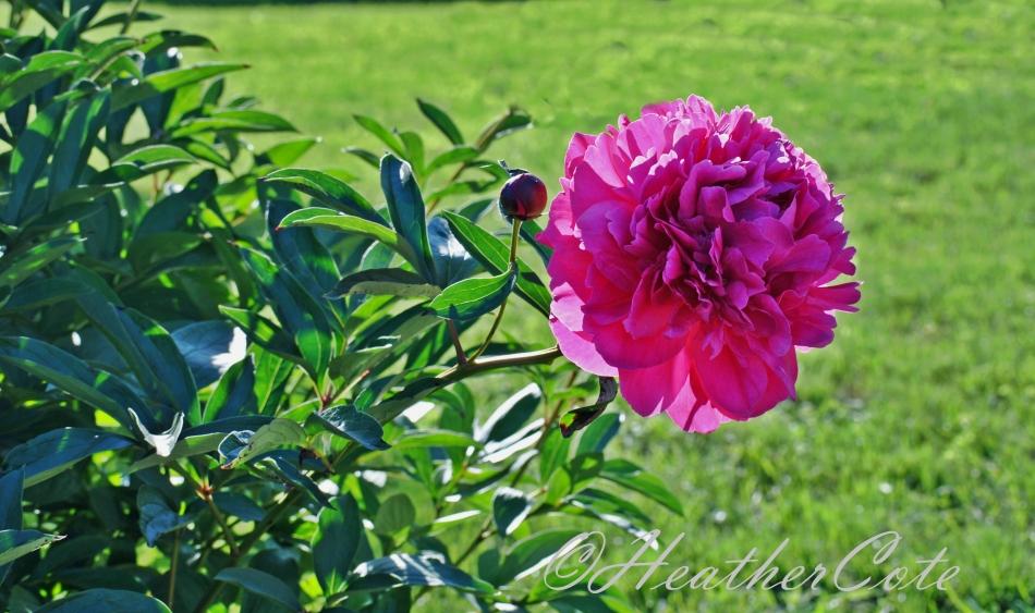 fuschia.flower.2014...