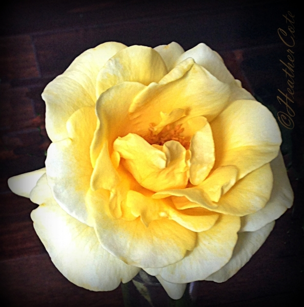 v.yellow.rose.4.2014,,,
