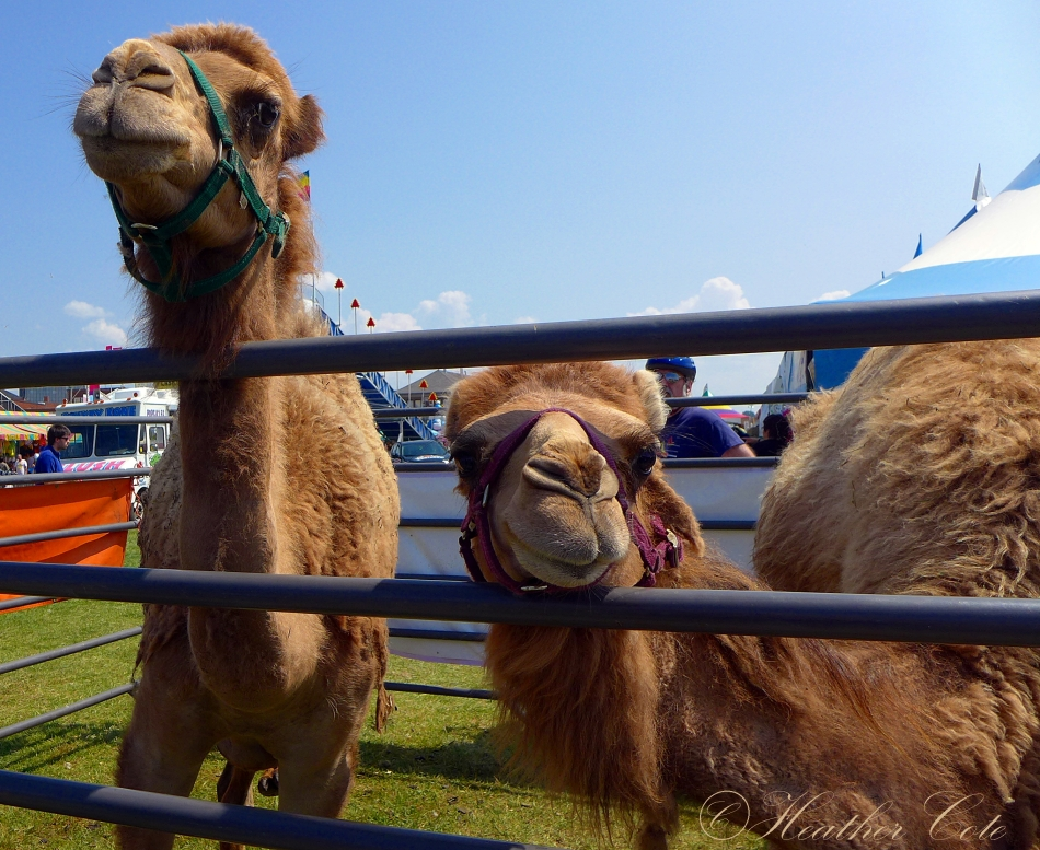 camels.midway.2014