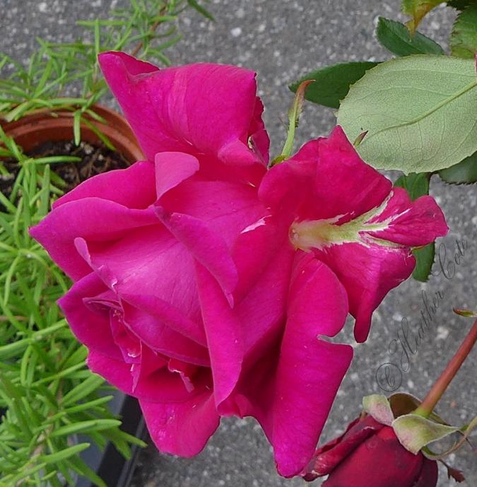 dark.pink.roses.2014