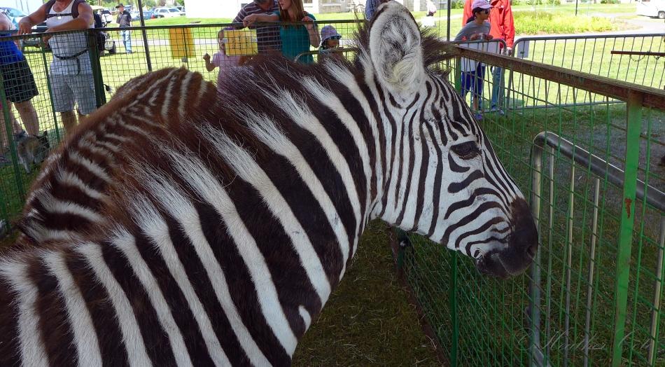 zebra.midway2.2014