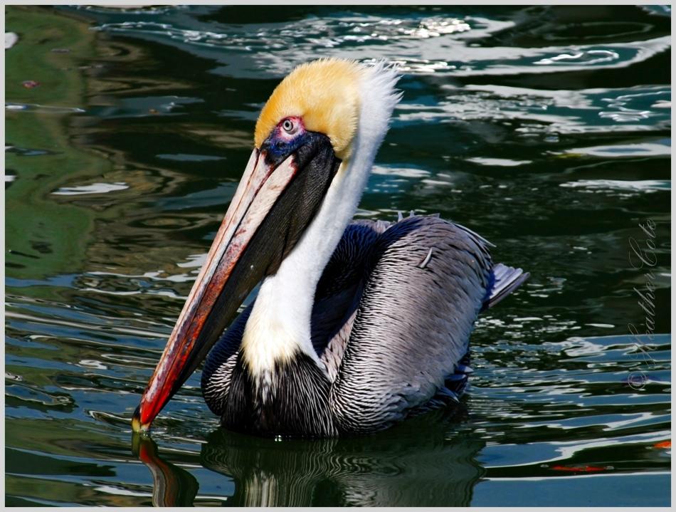 pelican.marco.2014....