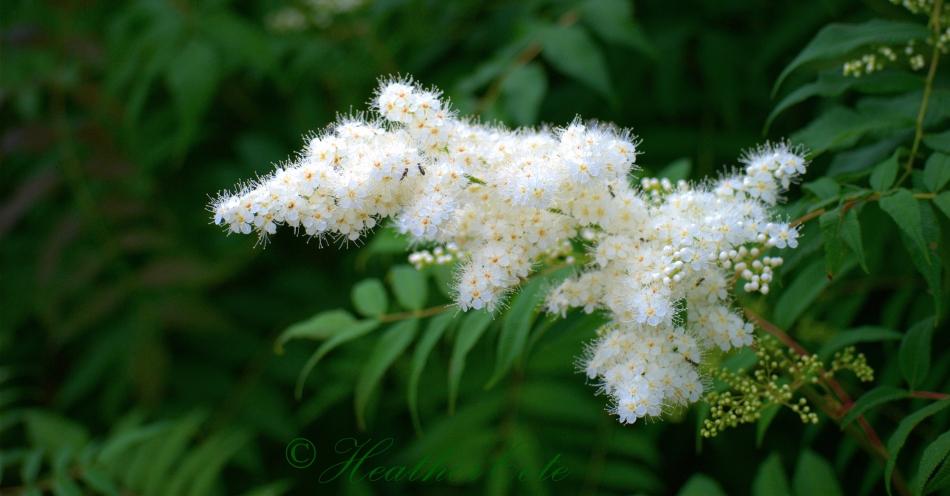 white.flower.2013
