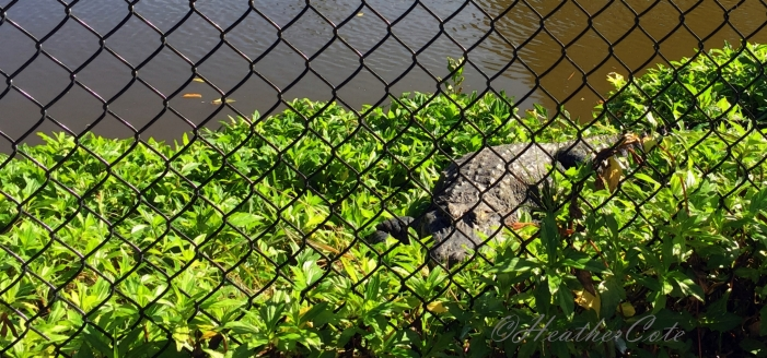 aligator.03.16
