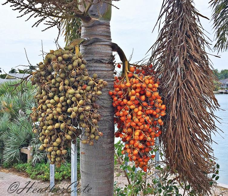 ...date palm.2016
