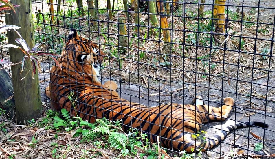.tiger.2016