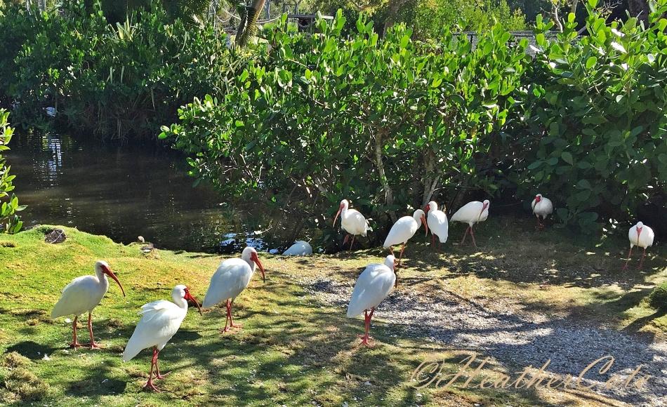 white.ibis.2016
