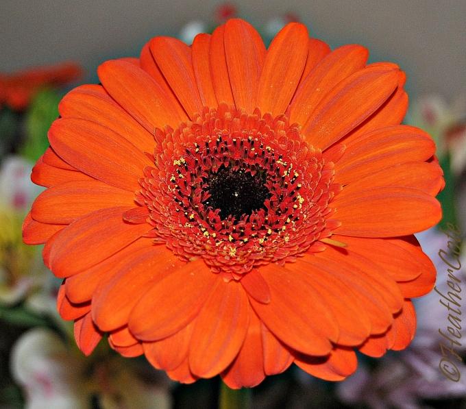 gerber daisy.16.2